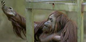 orangutan-sandra-2