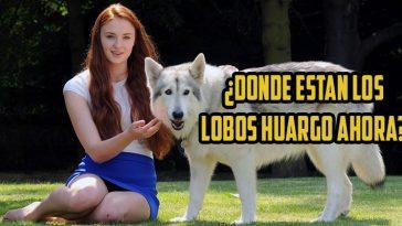 lobos-huargo